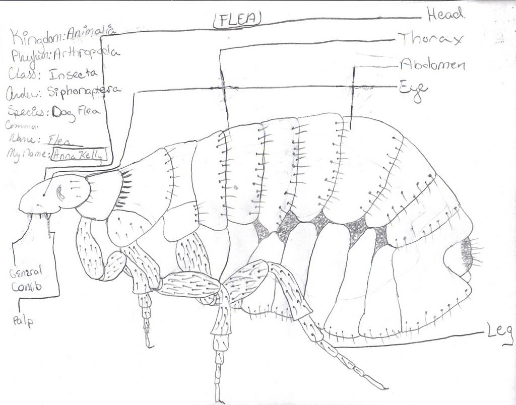 flea-drawing-01