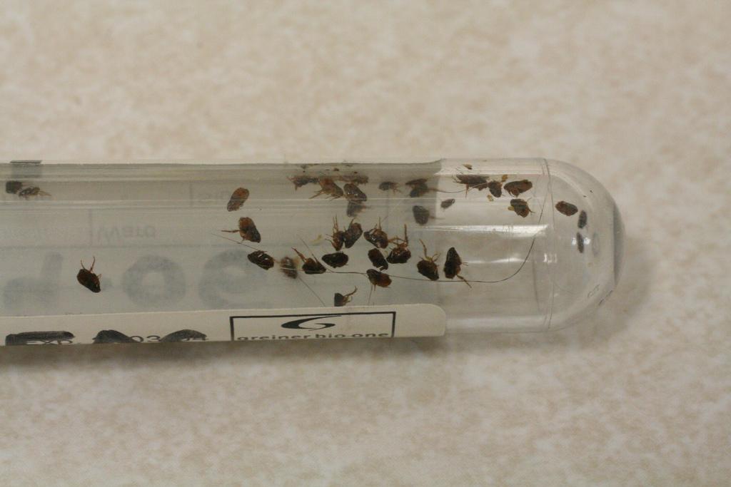 reasons why fleas keep coming back flea bites it 39 s downright