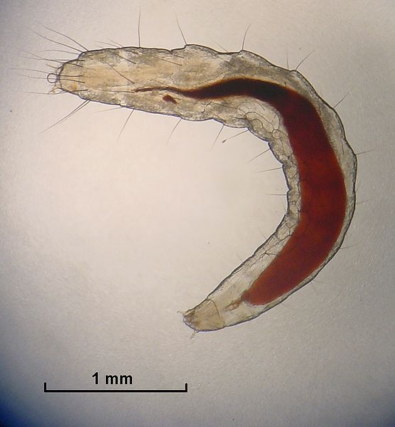 Micrograph of flea larvae.