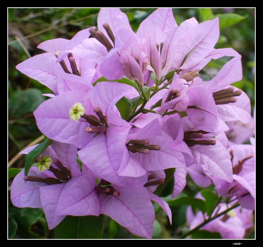 lavender-boug-01