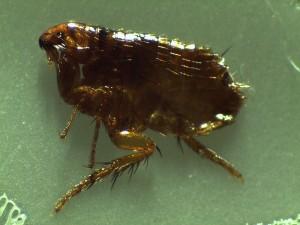 Cat flea under 35x microscope.